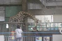 Hipo_giraffe01