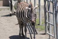 Zebra07
