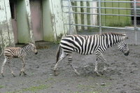 Zebra08