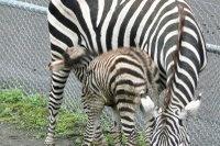 Zebra09