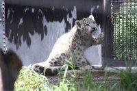Snowleopard_m01