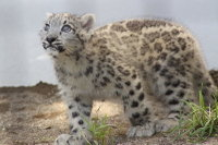Snowleopard_m02