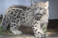 Snowleopard_m03