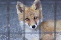 Fox02