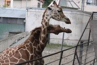 Giraffes31