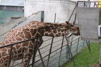 Giraffes32