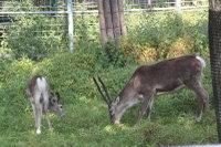 Reindeer15