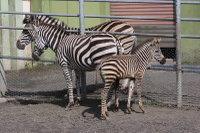Zebra13