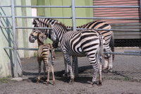 Zebra14