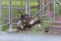 Reindeer18