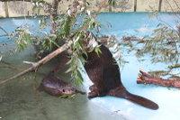 Beaver13