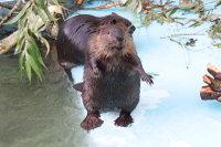 Beaver14