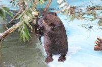 Beaver15