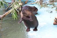 Beaver16