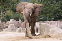 African_elephant03