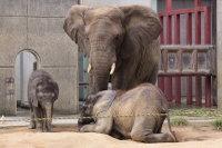 African_elephant04