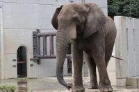 African_elephant05