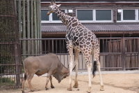 Giraffe20