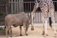 Giraffe21