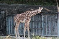 Giraffe22