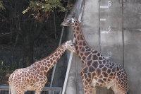 Giraffes33