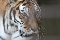 Tiger_h