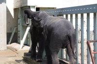 Asian_elephant05