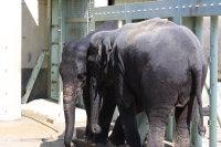 Asian_elephant07