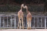 Giraffes34