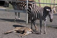 Zebra15