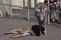 Zebra16