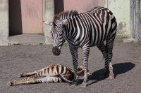 Zebra17