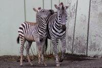 Zebra18