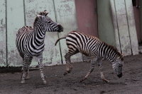 Zebra19