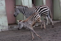 Zebra20