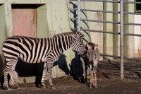 Zebra22