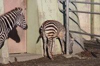 Zebra23