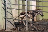 Zebra25