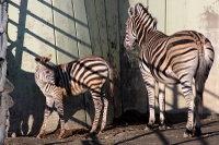 Zebra26