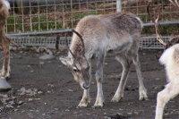 Caribou22