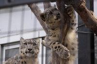 Snowleopard_m05