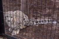 Snowleopard_m06