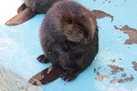 Beaver17