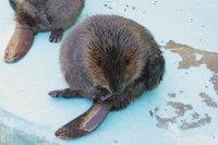 Beaver18