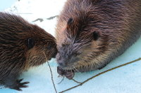 Beaver19