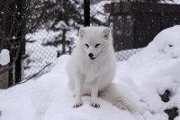 Arctic_fox41