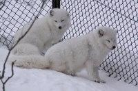 Arctic_fox42