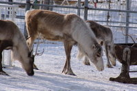 Caribou26