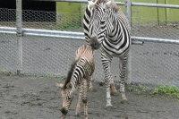 Zebra27