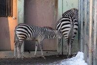 Zebra29